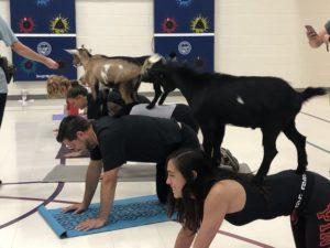Teachers doing goat yoga